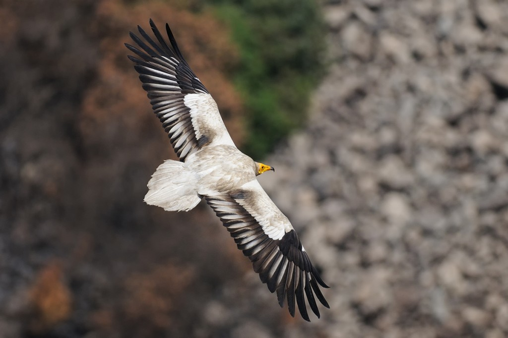 Egyptian Vulture in Gamla