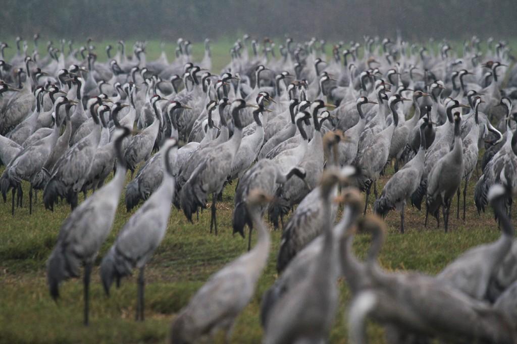 Cranes, Hula Park